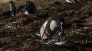 Godthul Gentoo pingvin