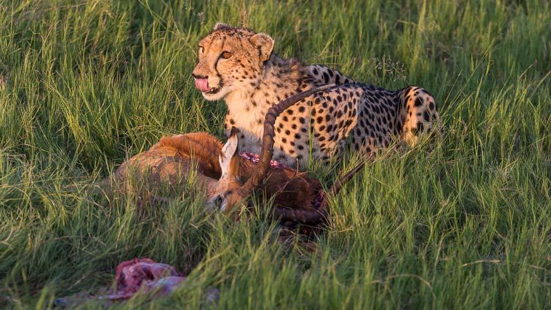 Gepard i Okavangodeltaet som spiser Impala