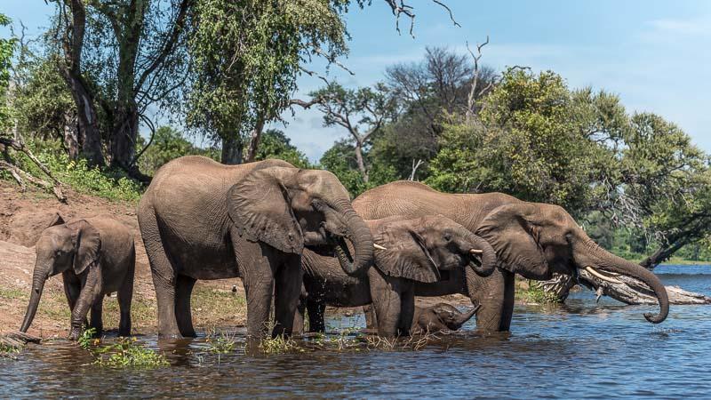 Elefanter i Chobe elven