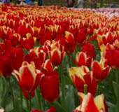 Tulipaner i lange baner.